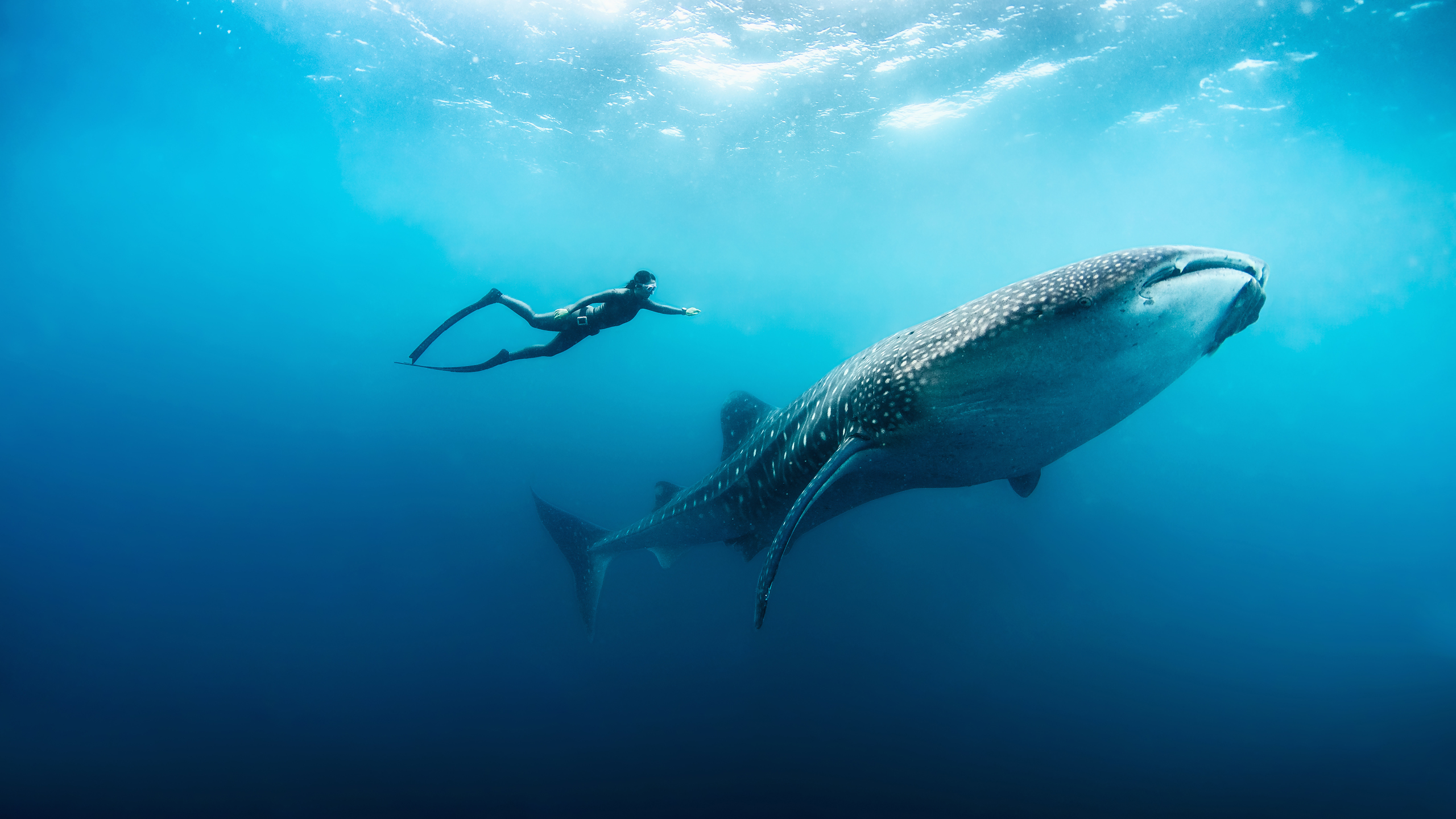 A diver swimming next to a whale shark